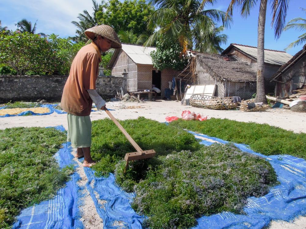 precios de carragenatos cultivo de algas